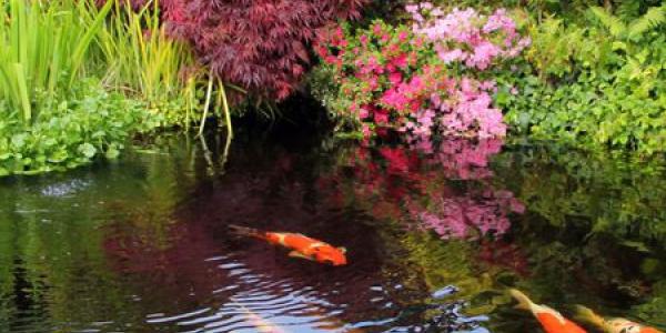 poissons-dans-un-bassin-de-jardin_6026520.jpg